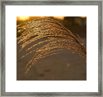 Golden Grass Framed Print
