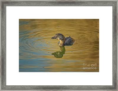 Golden Grebe Framed Print