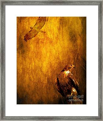 Golden Hawk 4 Framed Print by Wingsdomain Art and Photography