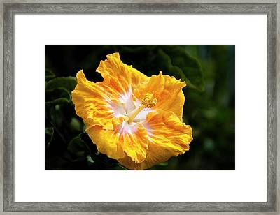 Golden Hibiscus - Hawaii Framed Print by Brian Harig