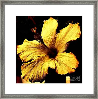 Golden Hibiscus Framed Print by Marsha Heiken