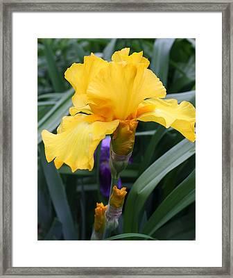 Golden Iris Framed Print by Bruce Bley