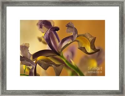 Golden Iris Framed Print by Terri Thompson