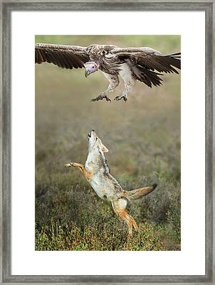 Golden Jackal, Canis Aureus, Leaping At Vulture Framed Print