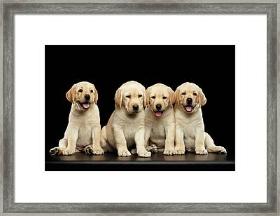 Golden Labrador Retriever Puppies Isolated On Black Background Framed Print
