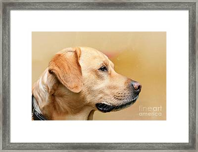 Golden Labrador Framed Print by Nichola Denny