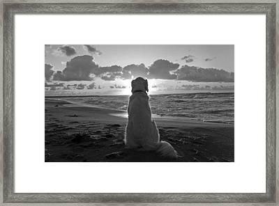 Golden Labrador Watching Sunset Framed Print