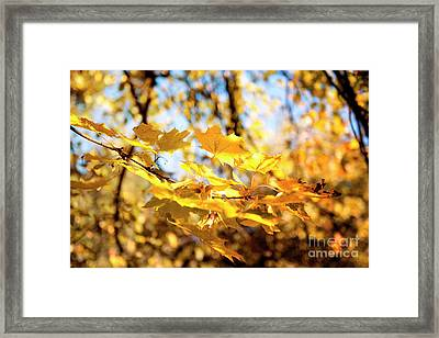 Framed Print featuring the photograph Golden Leaves by Ivy Ho