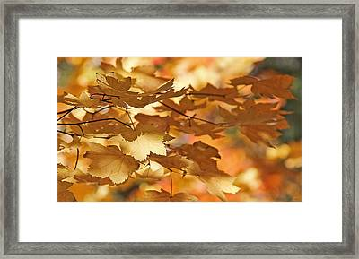 Golden Light Autumn Maple Leaves Framed Print by Jennie Marie Schell