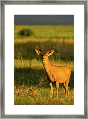 Golden Light Buck II Framed Print