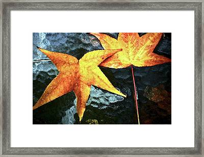 Golden Liquidambar Leaves Framed Print