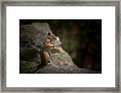 Golden Mantled Ground Squirrel Rocky Mountains Colorado Framed Print by Christine Till