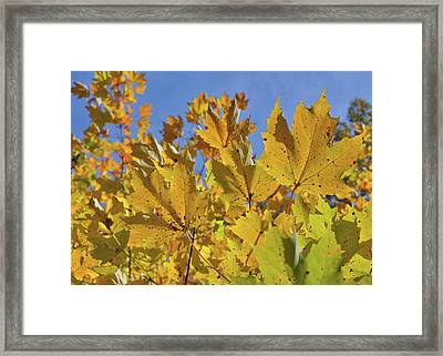 Golden Maple Framed Print by JAMART Photography