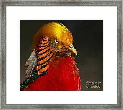 Framed Print featuring the photograph Golden Ornamental Pheasant by Debbie Stahre