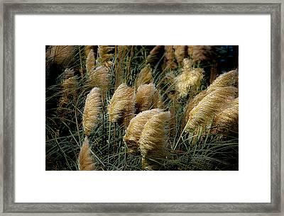 Golden Pampas In The Wind Framed Print