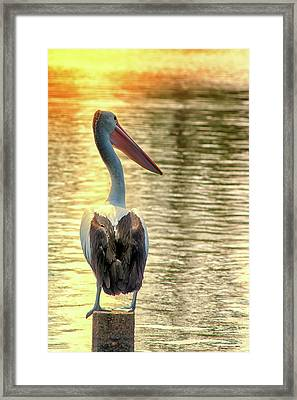 Golden Pelican Framed Print