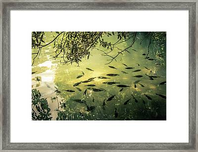 Golden Pond With Fish Framed Print