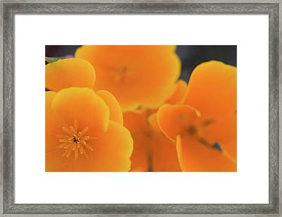 Framed Print featuring the photograph Golden Poppies by Roger Mullenhour