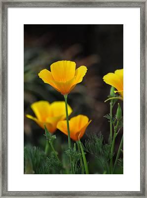 Golden Poppies  Framed Print