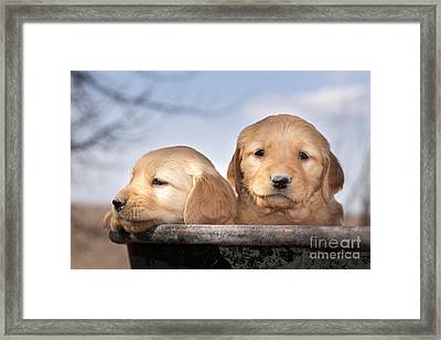 Golden Puppies Framed Print