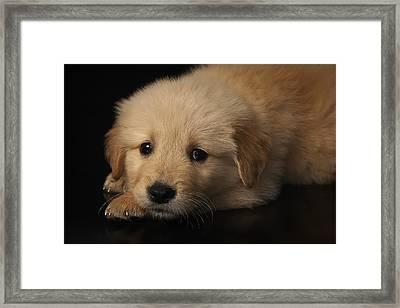 Golden Puppy Framed Print by Hernan Bua