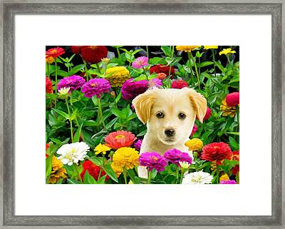 Golden Puppy In The Zinnias Framed Print by Bob Nolin