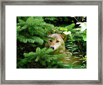 Golden Red Wolf Framed Print by Debra     Vatalaro
