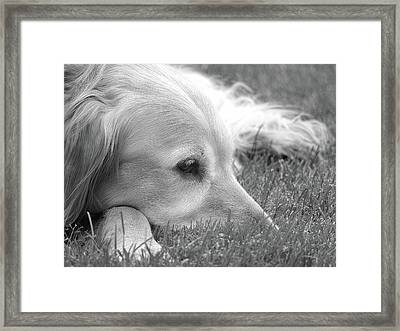 Golden Retriever Dog In The Cool Grass Monochrome Framed Print by Jennie Marie Schell