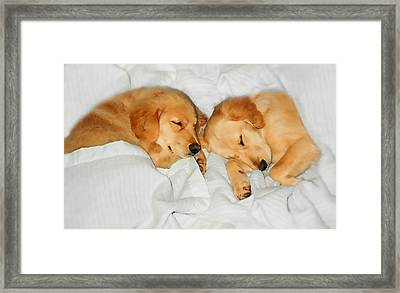Golden Retriever Dog Puppies Sleeping Framed Print