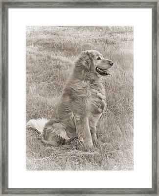 Golden Retriever Dog Sepia Framed Print by Jennie Marie Schell