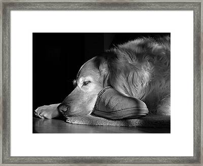 Golden Retriever Dog With Master's Slipper Black And White Framed Print by Jennie Marie Schell