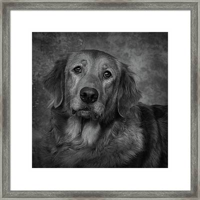 Golden Retriever In Black And White Framed Print
