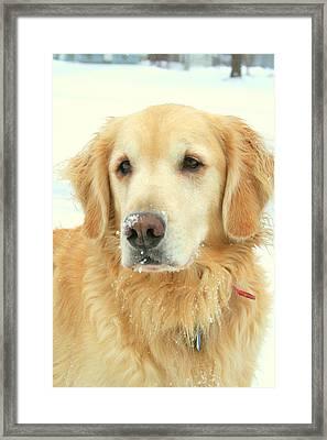 Golden Retriever On A Snowy Day Framed Print by Anita Hiltz