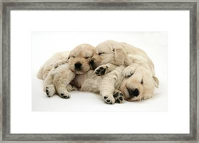 Golden Retriever Puppies Framed Print by Jane Burton