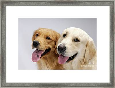 Golden Retrievers Framed Print by Oleksiy Maksymenko