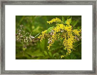Golden Rod Framed Print by Elsa Marie Santoro