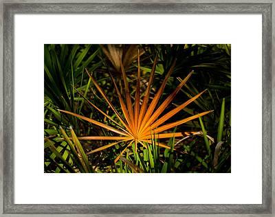 Golden Saw Palmetto Framed Print by John Myers