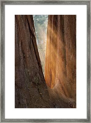 Golden Sequoia Framed Print
