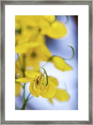 Golden Shower Flower - Kanikonna Framed Print by Robinson Thomas