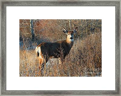 Golden Stag Framed Print