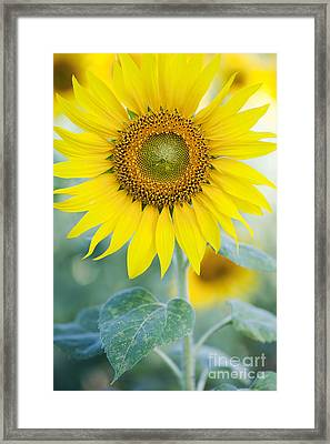 Golden Sunflower Framed Print