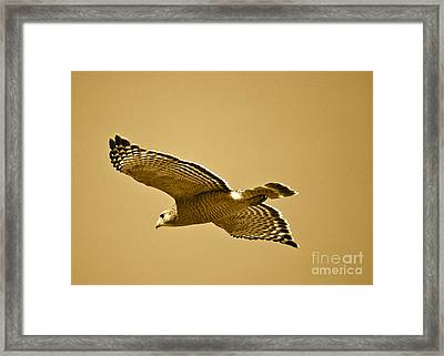 Golden Sunlight On Hawk Framed Print by Carol Groenen