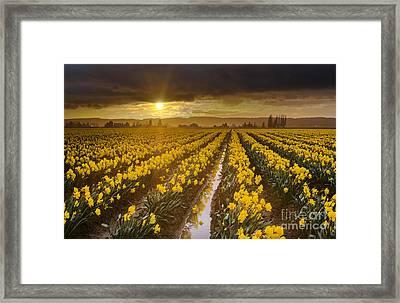 Golden Sunset Daffodil Fields Light Framed Print by Mike Reid