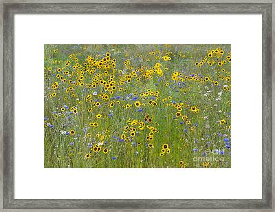 Golden Tickseed Meadow Framed Print by Tim Gainey