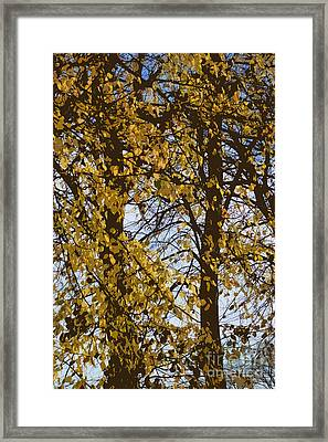 Golden Tree 2 Framed Print by Carol Lynch