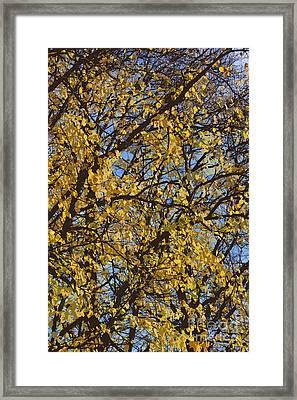 Golden Tree 3 Framed Print by Carol Lynch