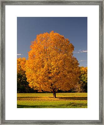 Golden Tree Of Autumn Framed Print