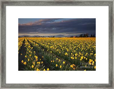 Golden Under The Storm Framed Print