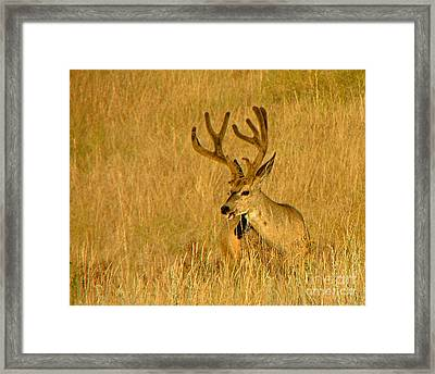 Golden Velvet  Framed Print