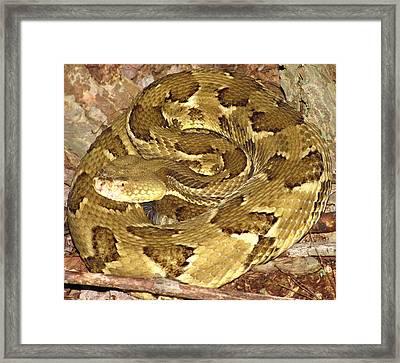 Golden Viper Framed Print by Joshua Bales